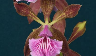 encyclia phoenicea orchids - Orchid